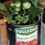 tomato-443x600